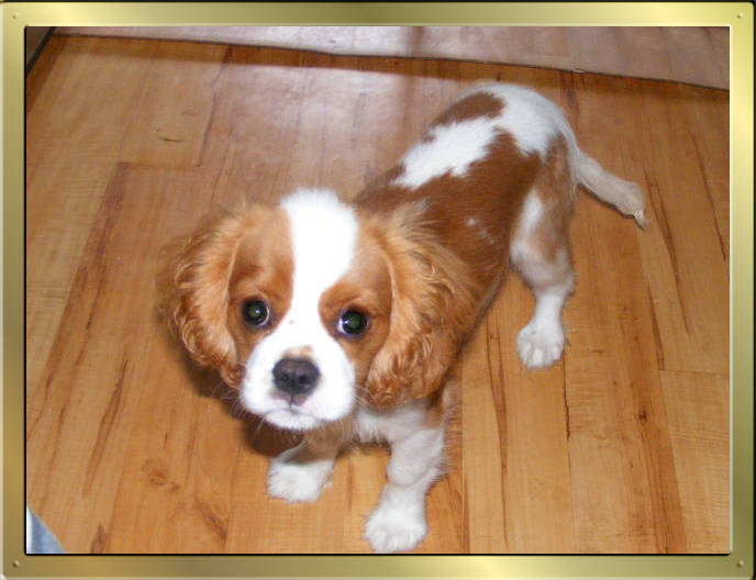 Cavalier King Charles Spaniel Tricolour und Blenheim puppy von Wonderful Eylar Rose und Chantismere Chieftain
