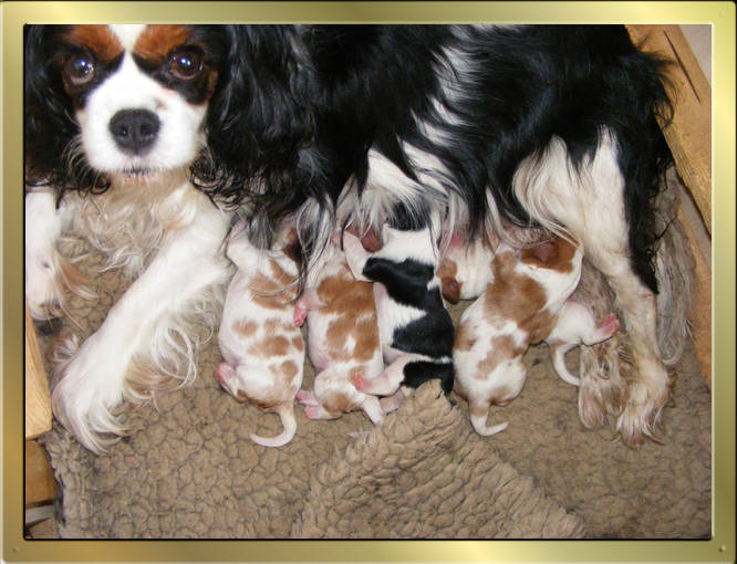 Cavalier King Charles Spaniel Tricolour und Blenheim puppies von Wonderful Eylar Rose und Chantismere Chieftain