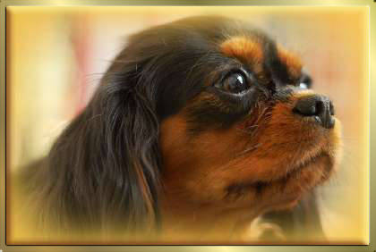 Black & Tan Cavalier King Charles Spaniel Hündin Early Dream's Xantra Justine Tochter von Sugarbaby