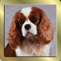 Blenheim Cavalier King Charles Spaniel Rüde Chantismere Chieftain