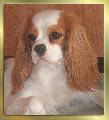 Blenheim Cavalier-King-Charles-Spaniel Huendin Early Dream's Yamala liegt
