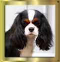 Tricolour Cavalier King Charles Spaniel Mädchen Early Dream´s Wonderful Eylar Rose