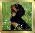 Black and Tan Cavalier-King-Charles-Spaniel Nala guckt in die Luft